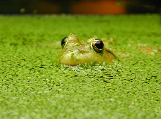 duckweed research paper Duckweed analysis kaseberg pond water was tested for how much and long duckweed survives in the water from kaseberg pond i tested the duckweed two different days the.