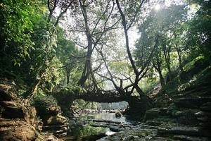 """Wahthyllong"" root bridge in Megahalaya, India."