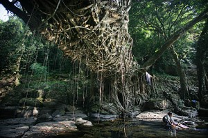 Underside of Wahthyllong root bridge, showing the intricate organic latticework that makes up the structure.